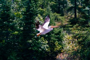 Lake of the Woods Pelican